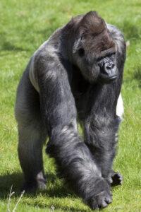 القرد